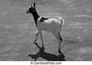 Black and white goat image