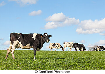 Black and white Holstein dairy cow on the skyline in lush...