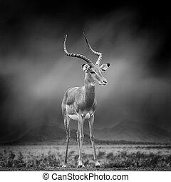 Black and white image of a impala