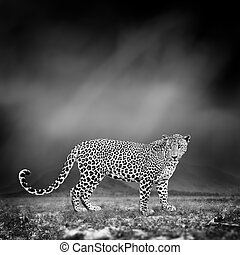 Black and white image of a leopard