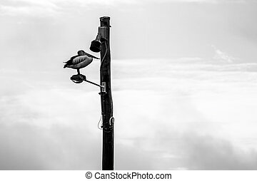 Black and White image of a pelican sitting on a lamp