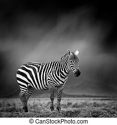Black and white image of a zebra