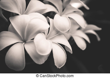 black and white image of the Plumeria flowers