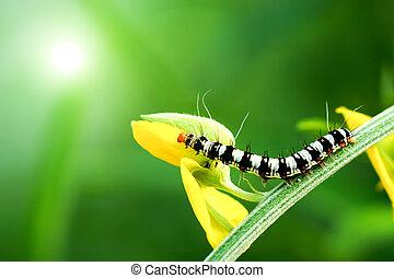 Black and white larva in the Crotalaria juncea field.