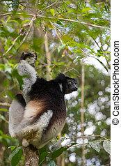 Black and white Lemur Indri