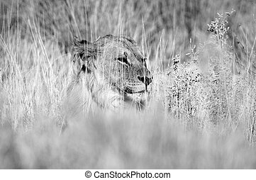 Black and white lion in the grass