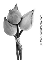 black and white Lotus flower isolated on white background