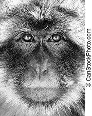 Black and white monkey portrait