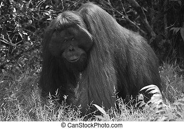 Black and White Orangutan - Black and White - Orangutan at...