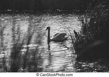 photo of swan swimming on lake