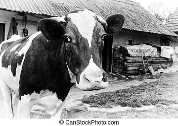 Black-and-white photo on the background of a cow farm.