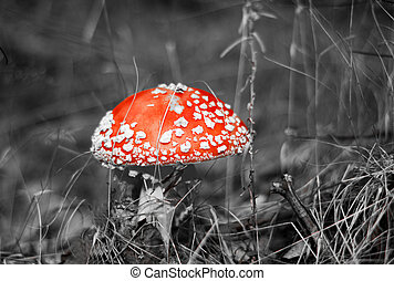 Black and white picture of a Amanita poisonous mushroom in nature
