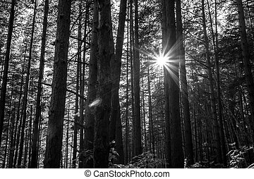 Black and white pine forest against sunset rays