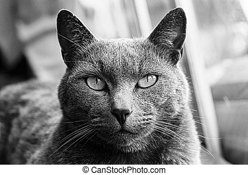 portrait of a Russian Blue tabby cat looking at the camera