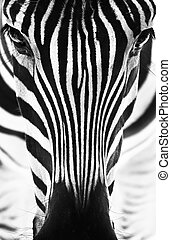 Artistic black and white closeup portrait of a zebra - emphasized graphical pattern.