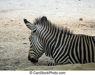 Black and white portrait of a Zebra