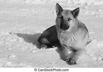 black and white Portrait of dog laying in white fresh snow on frosty winter day.