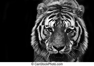 black and white portrait of tiger - Beautiful portrait in...