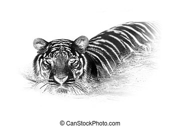Black and white portrait of White tiger. Invert image on...