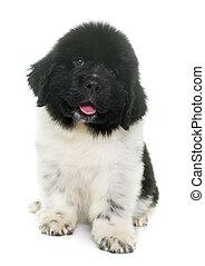 black and white puppy newfoundland dog