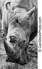 black and white rhino portrait