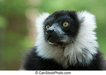 Black and White Ruffed Lemur - Close-up of a Black and White...