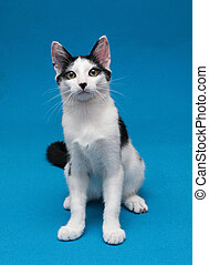 Black and white smooth coat kitten sitting, looking surprised on blue background