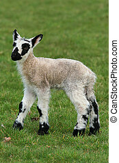 Black and White Speckled Lamb