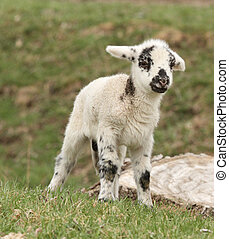 Black and white spotted lamb