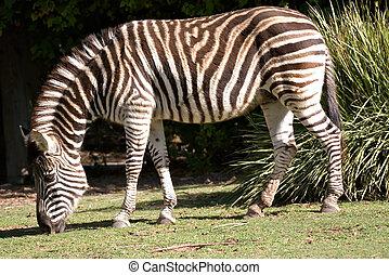 zebra eating grass - black and white striped zebra eating...