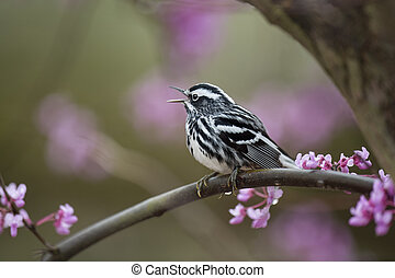 Black and White Warbler on Purple Perch