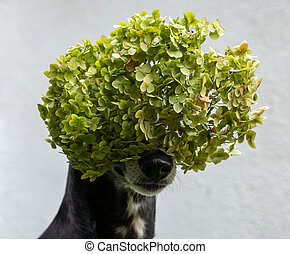Black and white whippet dog with hydrangea bloom