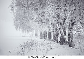 Black and white winter. Birch trees in the fog.