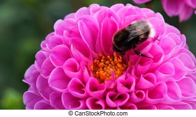 Black and yellow bumble bee extracts nectar from dahlia flowers.
