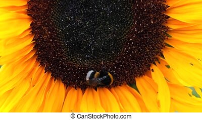 Black and yellow bumble bee extracts nectar from sunflower flowers.