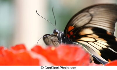 Black and yellow butterfly sits on a tropical flower on a...