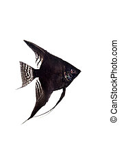 Black angelfish in profile on white background