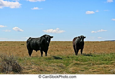 Black Angus cattle on open range in early spring. Sunny blue sky with clouds, green and gold range land. Early spring day.