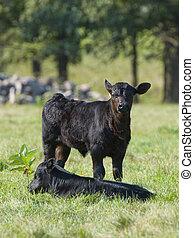Black Angus Calves in a pasture