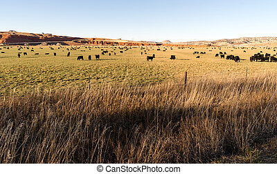 Black Angus Cattle Graze Large Ranch Wyoming Domestic Animal...