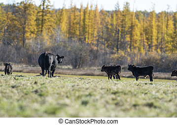 Black Angus cattle in a pasture