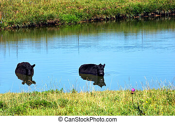 Black Angus Cool Off - Two black angus cows cool off from ...