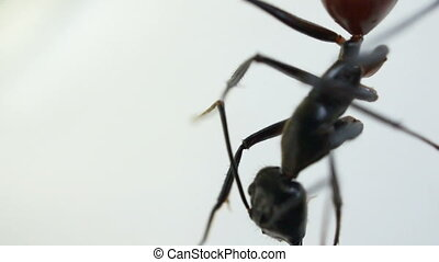 Close up of a black ant against white background