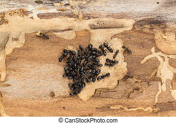 Black ant colony with queen. - Close up of tight ant colony...
