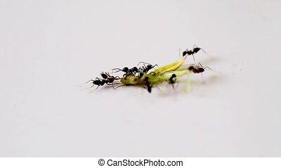 black ant eat dead grasshopper
