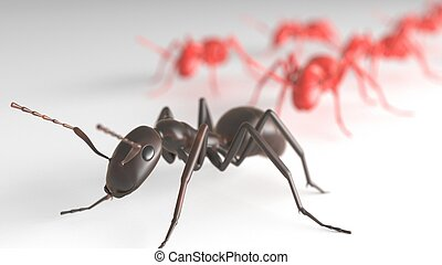 Black ant leading Red ants - ant leading other ants in...