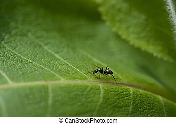 Black ant on a green leaf