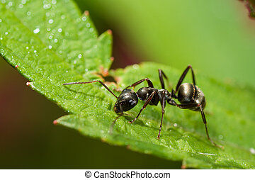 Black Ant on a Small Green Leaf