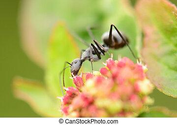 Black ant on flowers