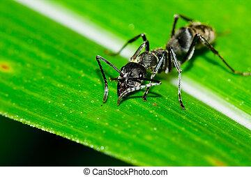 Black ant on leaf   - Black ant on leaf